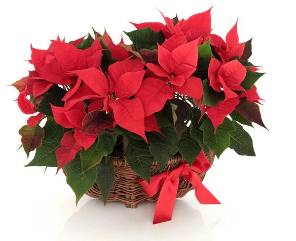 basket of poinsettia