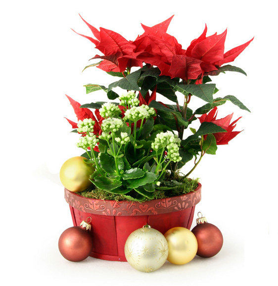 basket of christmas plants