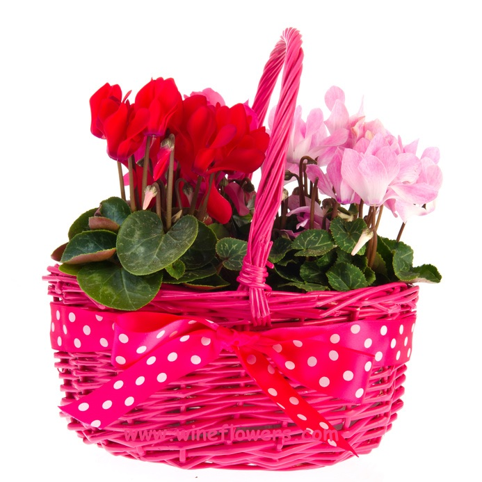 basket of cyclamens